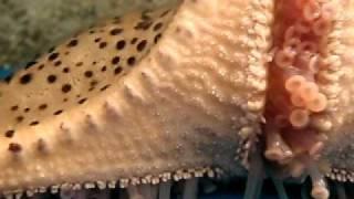 Starfish Locomotion