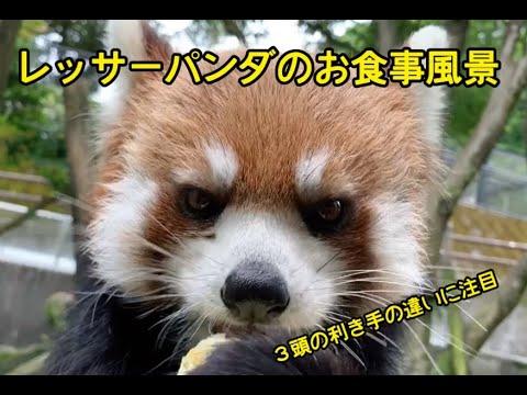 レッサーパンダのお食事の様子