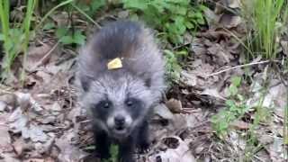Jenot w lesie koło Blachowni [Nyctereutes procyonoides - raccoon dog ]