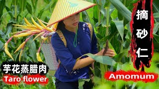 I am going to pick the flowers of Amomum and Taro, the flowers of the taro are delicious   wild girl