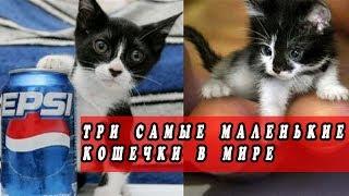 Три самые маленькие кошечки в мире