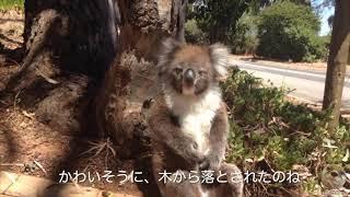 木から落とされて大泣きするコアラ