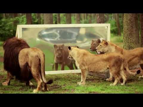 Ini nih reaksi keluarga singa saat melihat cermin, Kocak Abis ... !!!