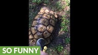 Tortoise refuses to let shell be cleaned