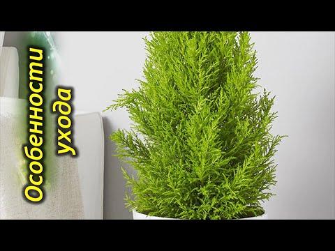 Комнатный кипарис – секреты особенности выращивания в доме.