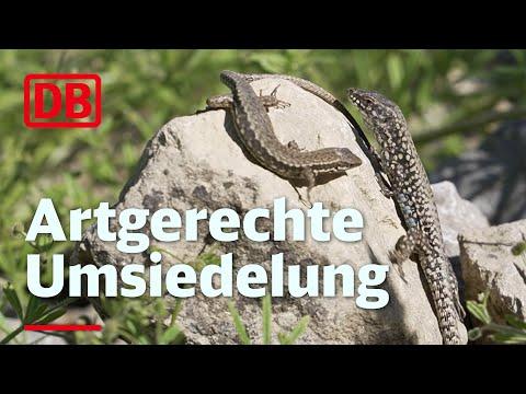 Tausende Stuttgarter Eidechsen bekommen...