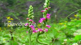 Austral Lady�s Tresses Orchids of Uttarakhand