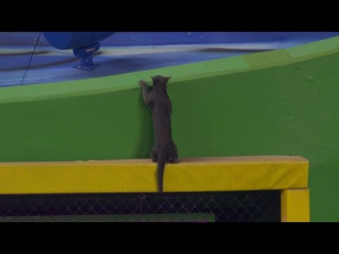 Cat shows off athleticism on outfield wall