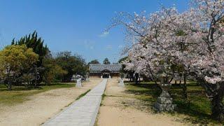 大窪八幡宮 桜