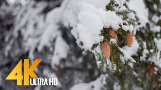 4K Snowy Winter Forest - Calming Sounds of Birds Singing on a Winter Morning