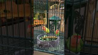 Lemon and Lime our Lovebirds
