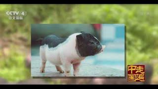 多彩贵州系列片(2)——月亮山里的猪宝贝 【走遍中国20150716】720P