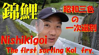 錦鯉 昭和三色の一次選別 Nishikigoi The First Sorting Of Koi Fry.