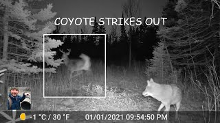 Coyote Spooks A Whitetail Deer Buck (Trail Cam Video)