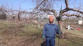 りんごの剪定(「成り枝」の説明~りんごの樹形「開心形」の構成ー「主幹」「主枝」「成り枝」)