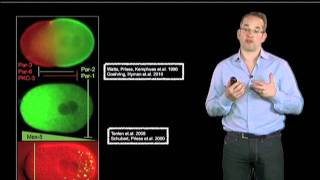 Anthony Hyman (Max Planck Institute) Part 4: Formation of P granules