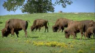 BISON BUFFALO Video
