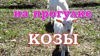 Для любителей животных - наши козы и козлята гуляют. Видео нарезки.