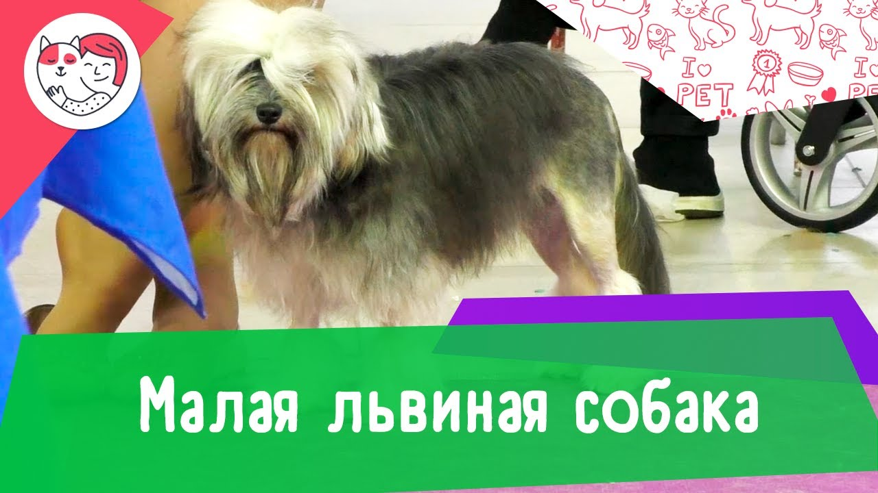 Малая львиная собака. Особенности. Уход