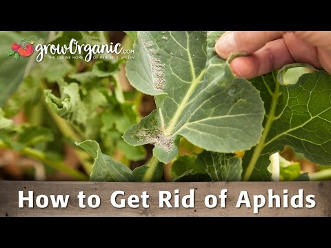 , title : 'How to Get Rid of Aphids Organically