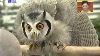 Смотреть онлайн Африканская сова: трансформация