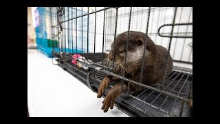 Otters And The Exotic Pet Trade - Documentary | World Animal Protection