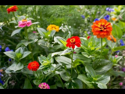 Download Zinnia Seeds in Pots Mp4 HD Video and MP3