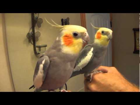 Talking Cockatiel