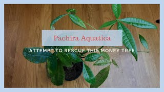 Can I Save It?? Attempt to Rescue a Money Tree (Pachira Aquatica)