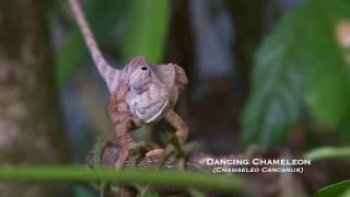 TEASER 2 - Dancing Chameleon