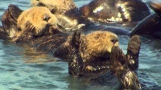 Sea otters thriving off Calif. coast