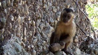 As ferramentas do macaco-prego