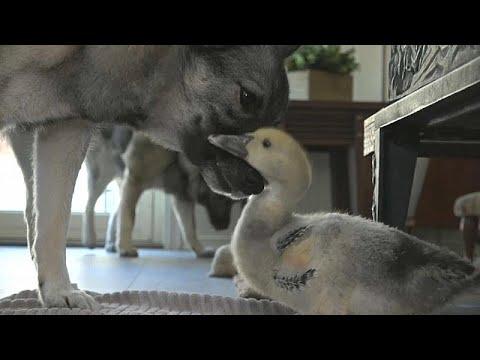 العرب اليوم - شاهد: الصداقة تجمع كلبًا ببطة في قصة فريدة من نوعها بالنرويج
