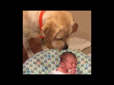 Labrador als Babysitter