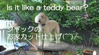 ゴールデンドゥードルのジャック、おうちカット仕上完了  DIY goldendoodle dog grooming