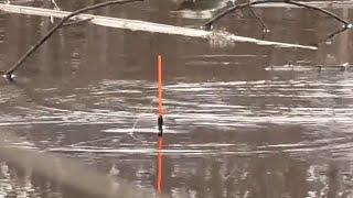 Ловля плотвы весной на поплавочную удочку в белоруссии