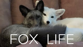 Pet Foxes 🦊 Are Super Adorable And Super Naughty!!