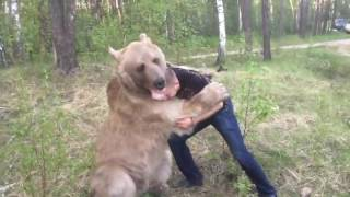 Russian guy plays with bear