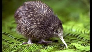 Kiwi - New Zealand Endemic Bird