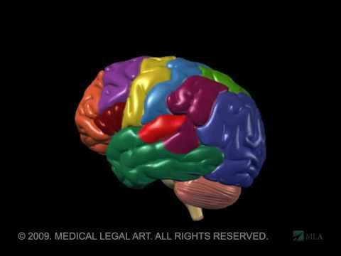 3D Brain Anatomy