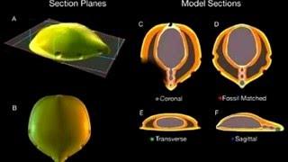 Развитие жизни на Земле (The Evolution of Life) - Вернанималкула (Vernanimalcula guizhouena)