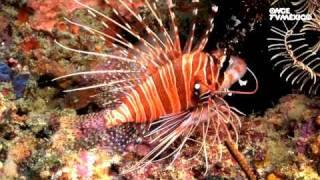 Nuestros Mares - Pez escorpión