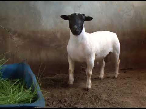 Criação de ovelhas dorper em Goiás