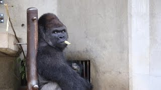 ซาบานิ กอริลลาสุดหล่อแห่งสวนสัตว์ฮิกาชิยามะ ประเทศญี่ปุ่น
