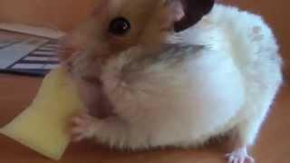 Прикольный хомяк. Сыр съел хомяка.Funny hamster. Lustige Hamster. おかしいハムスター. 재미 햄스터. Drôle hamster.