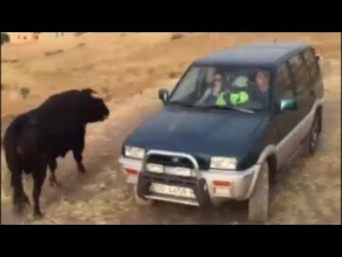 Toro embistiendo COCHES en encierro de Cuellar 2015