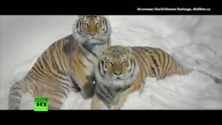 Амурские тигры в Канаде поохотились на беспилотник
