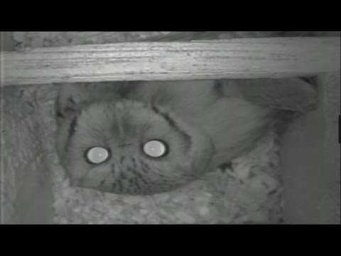 Screech Owls Live From The Nest Box - March 19th