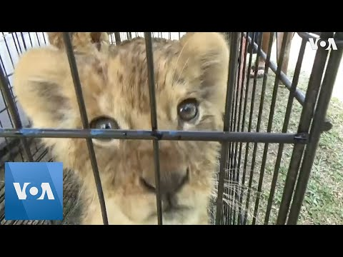 Lions and Leopards Rescued From Animal Smugglers in Indonesia