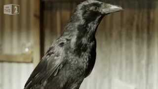 Gambar cover Gift giving crows - World's Weirdest Events: Episode 5 - BBC Two